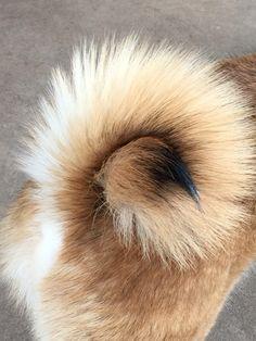 Perfect Shiba curl...