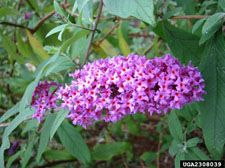 This one is a big surprise! Butterflybush, Invasive Plants of the Eastern United States