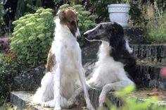 Bien que réservé, le barzoï ou lévrier russe est un chien affectueux et attachant. Très proche de son maître, il supporte mal la solitude