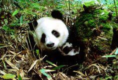 Sichuan Giant Panda Sanctuaries - Wolong, Mt Siguniang and Jiajin Mountains - China
