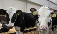 Kalfjes op FarmCamps Breehees, leuk & nieuwsgierig. Hooi Hooi!