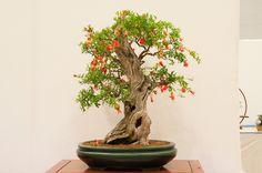 Bonsai 186