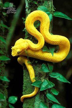 Eyelash Pit Viper (Bothriechis schlegelii) - The Gold Museum