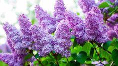 3 plants of Purple Lilac 1 year old, Syringa vulgaris (Common Lilac), plant-bush, Bare root