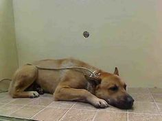 ADOPTED!!~~~NY: URGENT! **PAST DUE** HAVEN is SCARED in shelter & therefore at greater risk! HAVEN - A0988708 **PAST DUE** MALE, TAN, BELG MALINOIS / GERM SHEPHERD, 7 yrs STRAY - STRAY WAIT, NO HOLD Reason STRAY Intake condition NONE Intake Date 01/02/2014, From NY 11421, DueOut Date 01/02/2014,	  Medical Behavior Evaluation BLUE  Medical Summary Scan negative RR - 27 Male intact Tolerates handling but fearful and does not like to walk nor stand Weight 78.8