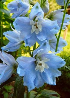 Beautiful blue flowers ~ BLUE DELPHINIUMS