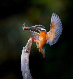 Landing with a catch Most Beautiful Birds, Pretty Birds, Animals Beautiful, Common Kingfisher, Kingfisher Bird, Animals And Pets, Cute Animals, Photo Animaliere, Flora Und Fauna