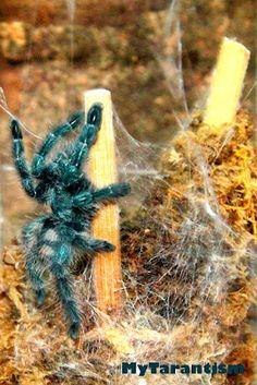 Antilles Pinktoe Tarantula Pink Toes, Creepy Things, Spiders, Snakes, Madagascar, Beautiful Creatures, Moth, Bugs, Insects