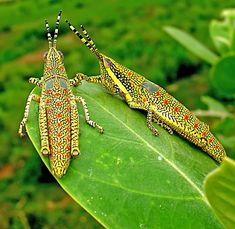 Locust Nymphs