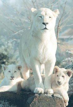 chats sauvages, une lionne blanche, mère de deux lions
