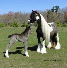 Gypsy Vanner Horses - so beautiful! (the baby is Black - Black horses are born a Greyish color). Baby Horses, Cute Horses, Draft Horses, Horse Love, Wild Horses, Most Beautiful Horses, All The Pretty Horses, Animals Beautiful, Animals And Pets
