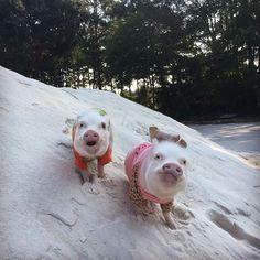Priscilla and Poppleton (@prissy_pig) • Instagram photos and videos