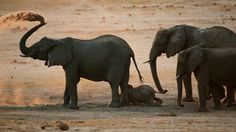 The Last Days of Cecil the Lion ; It was sunset and this herd of elephants had just finished drinking at a waterhole. They were scooping sand up with the tips of their trunks and blowing it over themselves to protect against biting flies. The baby is less than a year old, with her two sisters and their mother.