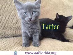 Meet Tatter, a Petfinder adoptable Domestic Short Hair Cat | Pensacola, FL | You can fill out an adoption application online on our official website.Tatter was born around...