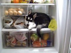 WATCH: Husky Pup Refuses To Get Out Of Refrigerator!