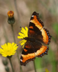 64. Milbert's Tortoiseshell (Aglais milberti), also known as the Fire-rim Tortoiseshell, is the only species of Aglais that occurs in North America.