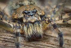 Belizean Trechalea long-legged fishing spider
