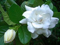 Hawaiian Gardenia...Gardenia's are my favorite flower