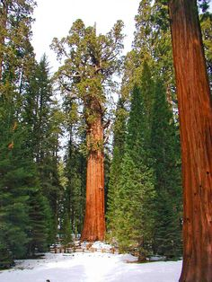 The awesome trees of Sequoia National Park inspired a setting in The Flame Priest, the second book of The Silk & Steel Saga