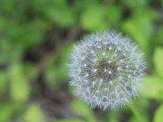 Dandelion Ball / Wishy Blow