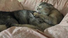 ママ猫13歳は、なび12歳の娘にいまだに!?ママのオッパイ揉みて中(笑)産まれた時から12年間凄い甘えん坊 She still depends on his/her parents/teacher. Gifu, Baby Supplies, Scottish Fold, Cat Breeds, Breastfeeding, Cat, Baby Feeding, Breast Feeding, Baby Swag