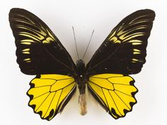 Lepidoptera indet., butterfly, dried specimen