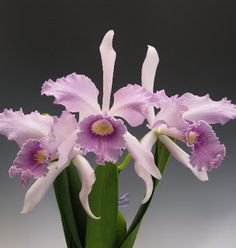 Cattleya Orchid one of my favorites.
