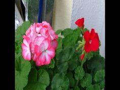 Mis Geranios -  1 año después han vuelto a florecer.
