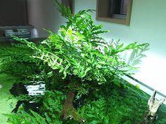 Freshwater Aquarium Plants, Planted Aquarium, Freshwater Fish, Aquatic Plants, Aquascaping, Fish Tank, Fresh Water, Garden, Aquariums