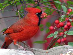 Cardinal in Snow with Berries Pretty Birds, Love Birds, Beautiful Birds, Animals Beautiful, Ohio State Bird, State Birds, Cardinal Pictures, Cardinal Birds, Colorful Birds