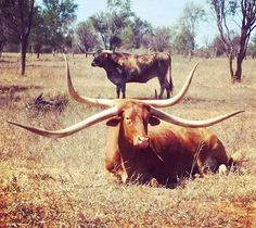How many Texas Longhorn cattle do you see? #photofriday Photo credit: Texas Longhorn Wagon Tours & Safaris in Australia. . . . #texaslonghorn #cattle #australia #horn #longhorn #cows #bulls #livestock #international #funny #fun #photography #photo