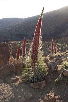 Tajinastes en el Parque Nacional de Las Cañadas del Teide (Tenerife)