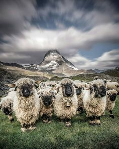 @wonderful_travel_experience Valais blacknose sheep - Zermatt Matterhorn, Switzerland   Photo by: @iryna_raichuk ~ All rights and credits reserved to the respective owner(s)