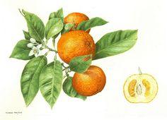 Citrus aurantium | Flickr - Photo Sharing!
