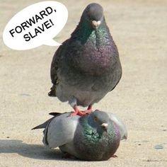ohh pigeons..