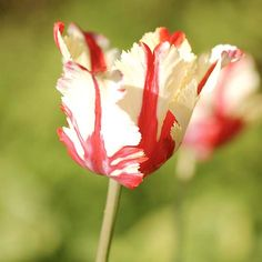 We wait for late spring to roll around each year so we can enjoy this fantastic parrot tulip. Its bold red flowers are cut, fringed, and twisted, as well as streaked with white. It's tulip perfection! http://www.bhg.com/gardening/flowers/bulbs/best-tulips-for-your-garden/?socsrc=bhgpin041415estellarijnveld&page=8