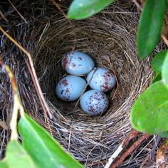 Junco nest--I have seen a few, but only one with eggs. Usually the juncos are not around my house in the spring and summer.