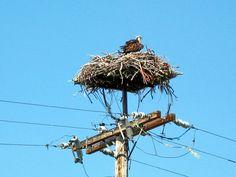 Bald Eagle Nest, Klamath Falls, Oregon   /   PI