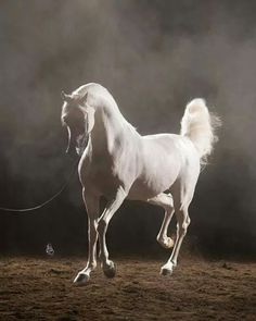 Absolutely gorgeous Arabian #horses