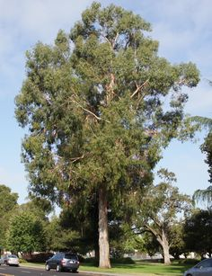 Canopy Tree Library - Choose the Right Tree - Canopy & The Return of the American elm-Michigan State Extension   Trees ...