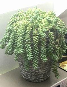 Donkey's tail Succulent Arrangements, Succulents, Picture Design, Donkey, Plants, Pictures, Art, Photos, Art Background