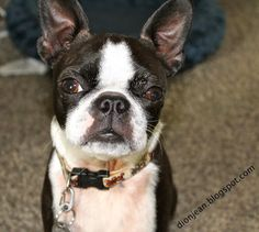 Sweet little Boston terrier. She's just going grey above her eyes.