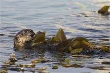Sea otters wrap themselves in kelp so they don't drift on the ocean while they sleep- Bing Images