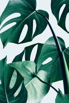 Monstera #redbubble #artprints by Uma Gokhale