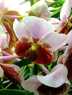 Vanda Sanderiana in Orchideengarten Karge-Liphard in Dahlenburg/Germany  Eine der Vanda Sanderiana, die wir bei uns im Orchideengarten haben.   www.orchideengarten.de
