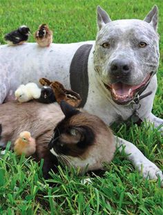 Pit bull Sharky, siamese cat Max and chicks on a farm in Texas • photo: Helen J Arnold on The Guardian