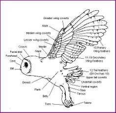 Diagram of a Barn Owl