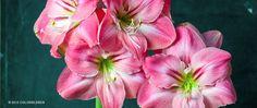 """A photograph of the the spring flowering Amaryllis Bulbs cultivar """"Summertime"""" 3 bulbs for $29.00"""