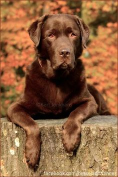 "Labrador retrievers, or ""Labs"" as they've become fondly known, are one of the most popular dog breeds of our time. Baby Labrador, Labrador Facts, Labrador Puppies, Retriever Puppies, Labrador Retrievers, Chocolate Lab Puppies, Chocolate Labs, Husky Corgi, Bulldogs"