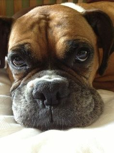 "Exceptional ""boxer puppies"" detail is offered on our site. Read more and you wont be sorry you did. Der Boxer, Boxer Bulldog, Boxer Mom, Funny Boxer, Boxer And Baby, Boxer Puppies, Cute Puppies, Cute Dogs, Boxers"